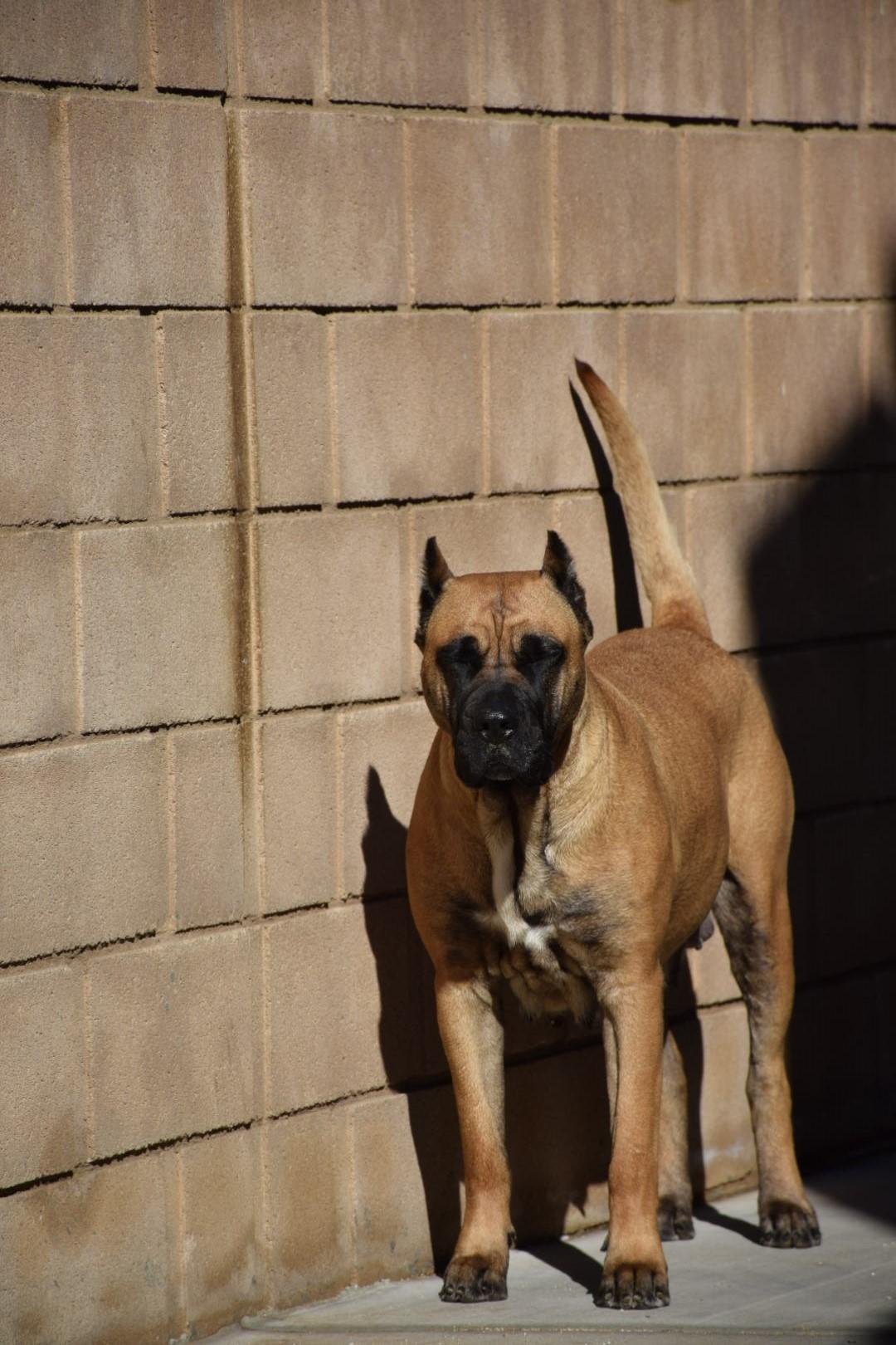Socal Presa Canario - Presa Canario Puppies for Sale in ...