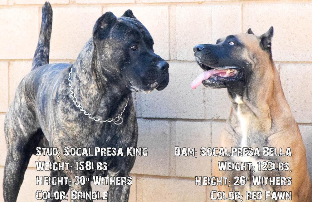 King and Bella Presa Canario Puppies