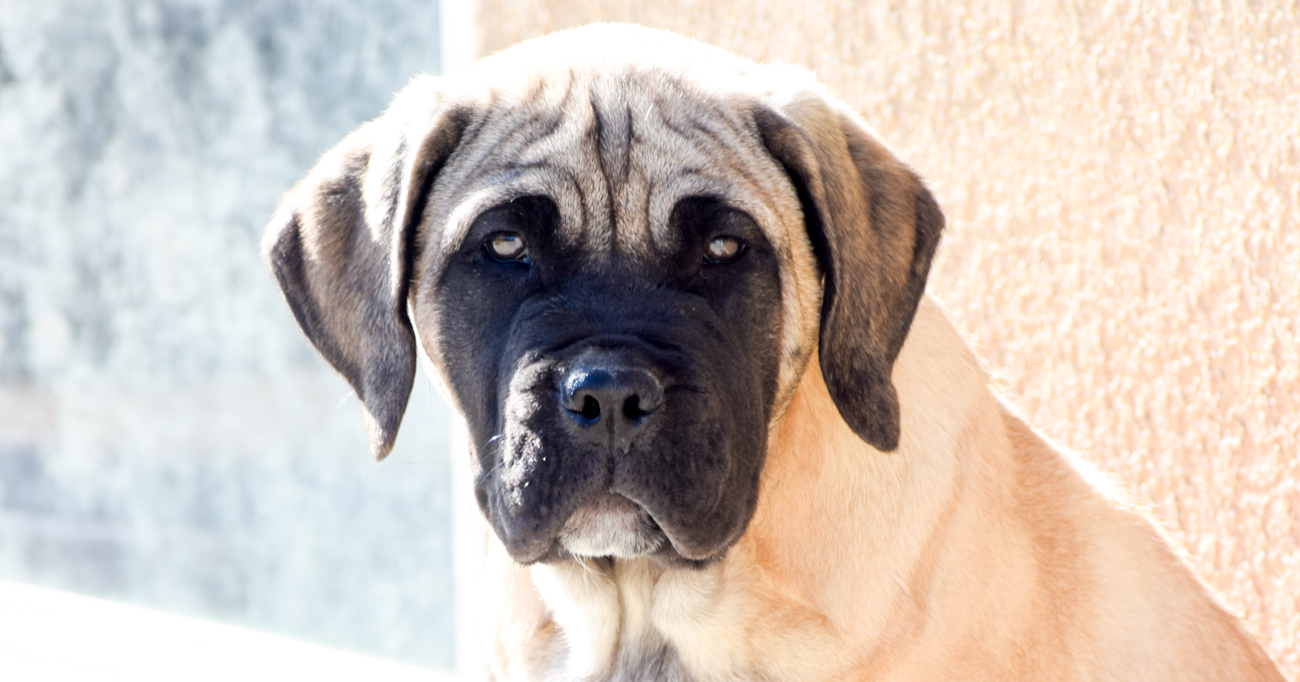 Fawn Male with Black Mask Presa Canario Puppy for Sale ...
