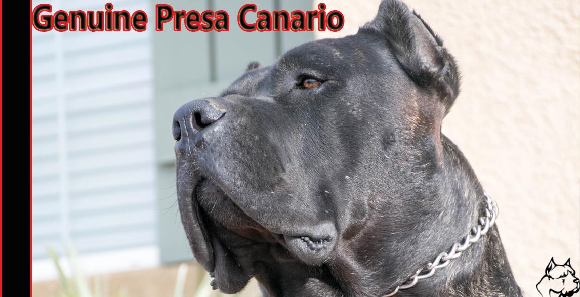 Socal Presa Canario